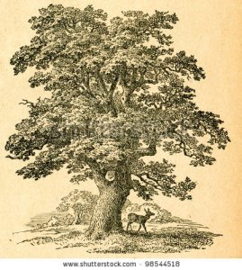 stock-photo-oak-tree-old-illustration-by-unknown-artist-from-botanika-szkolna-na-klasy-nizsze-author-jozef-98544518